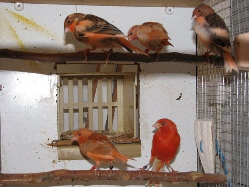 Канарейки высиживание птенцов